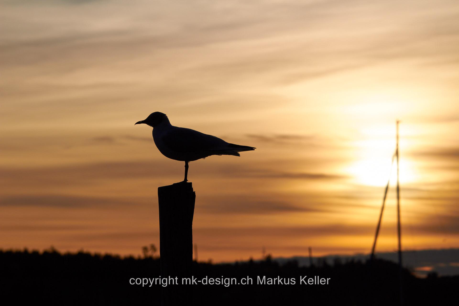 See   Pfäffikersee   Tier   Vogel   Möve   Sonne   Sonnenaufgang