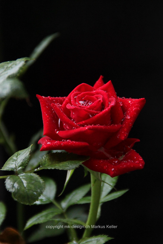 Pflanze   Blume   Rose