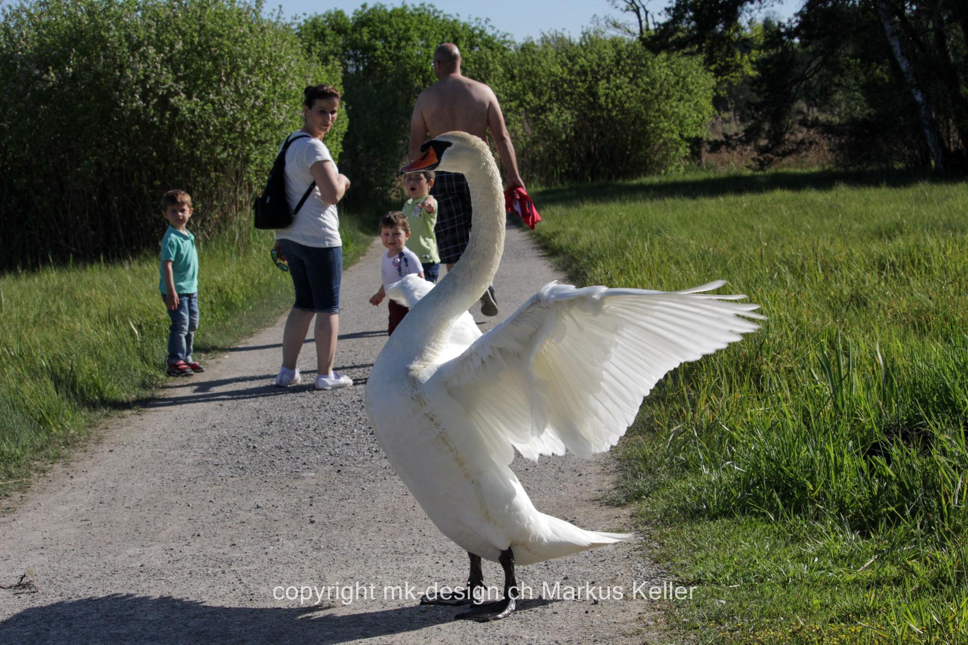 Tier   Vogel   Schwan