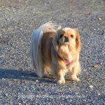 Tier   Hund   Tibet-Spaniel