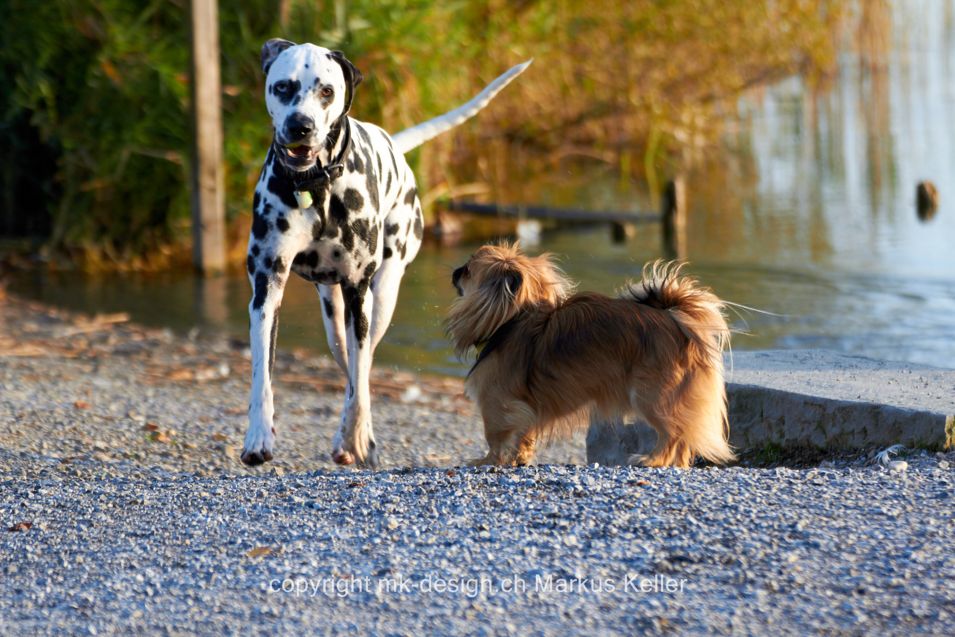Tier   Hund   Dalmatiner   Tibet-Spaniel