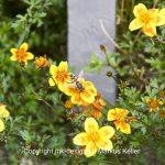 Pflanze   Blume   Tier   Insekte   Wespe   Garten-Dahlie