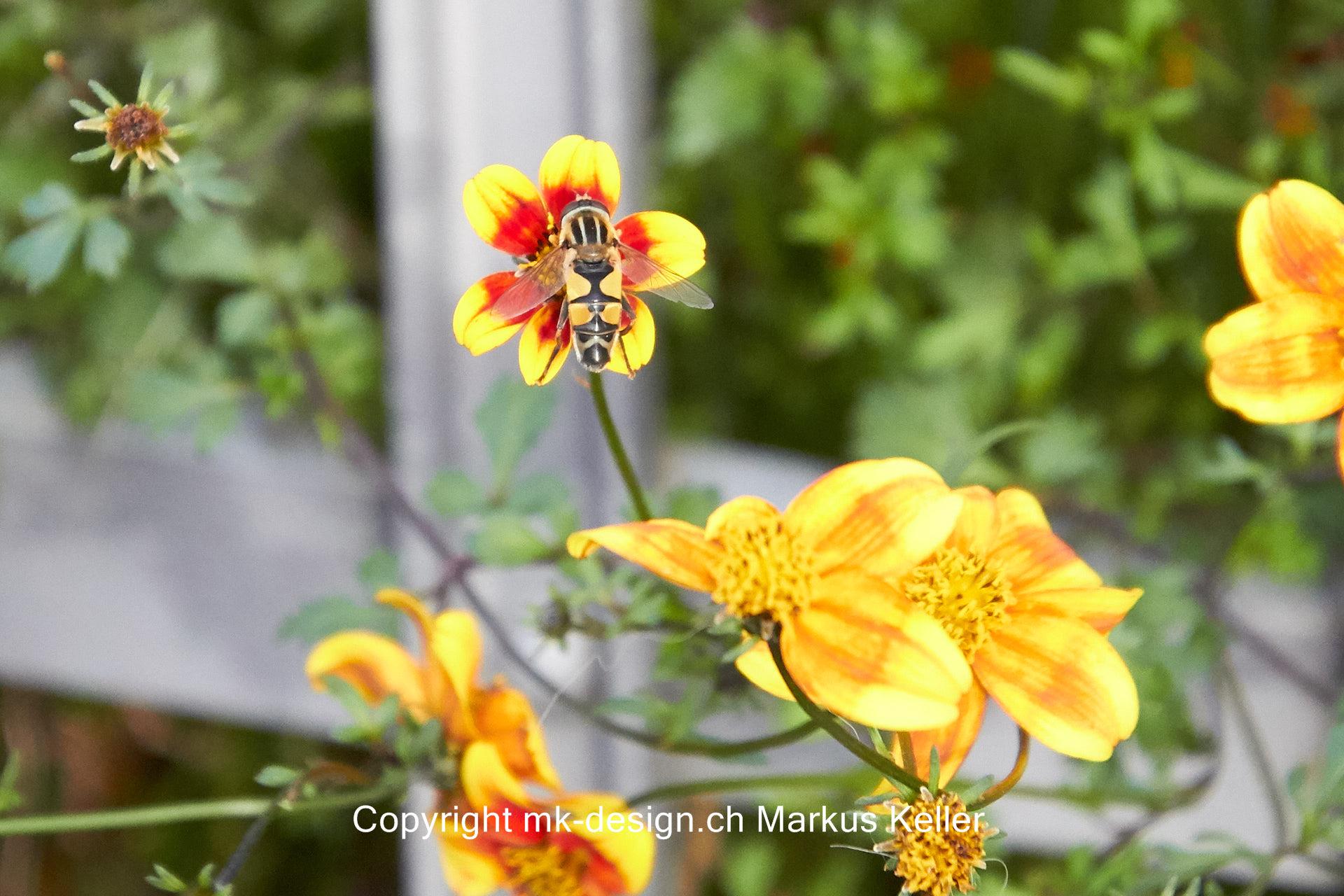 Tier   Insekte   Wespe   Pflanze   Blume   Garten-Dahlie