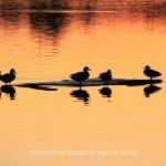 See   Pfäffikersee   Tier   Vogel   Ente   Sonne   Sonnenuntergang