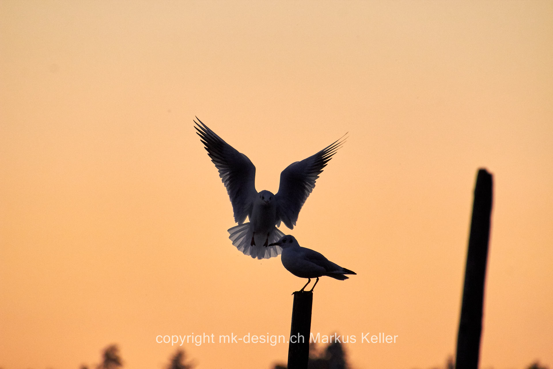See   Pfäffikersee   Tier   Vogel   Möve