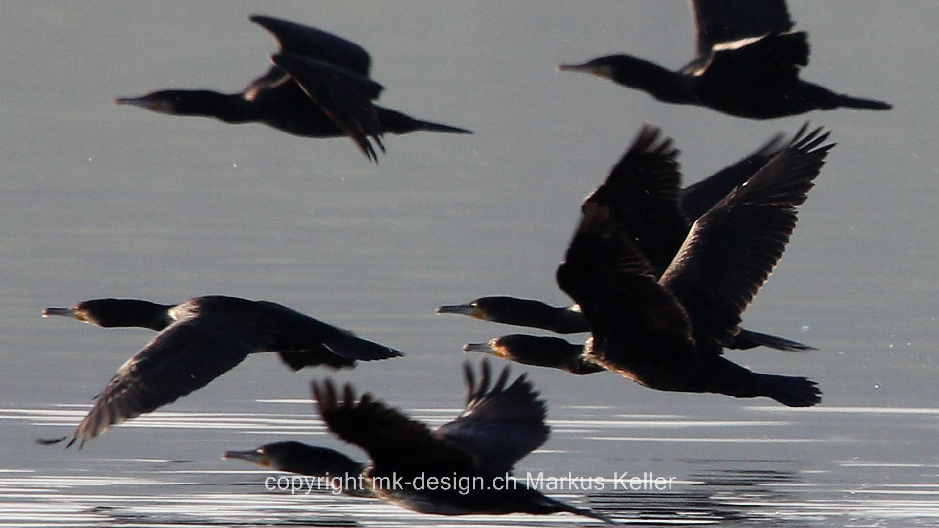 See   Greifensee   Tier   Vogel   Kormoran