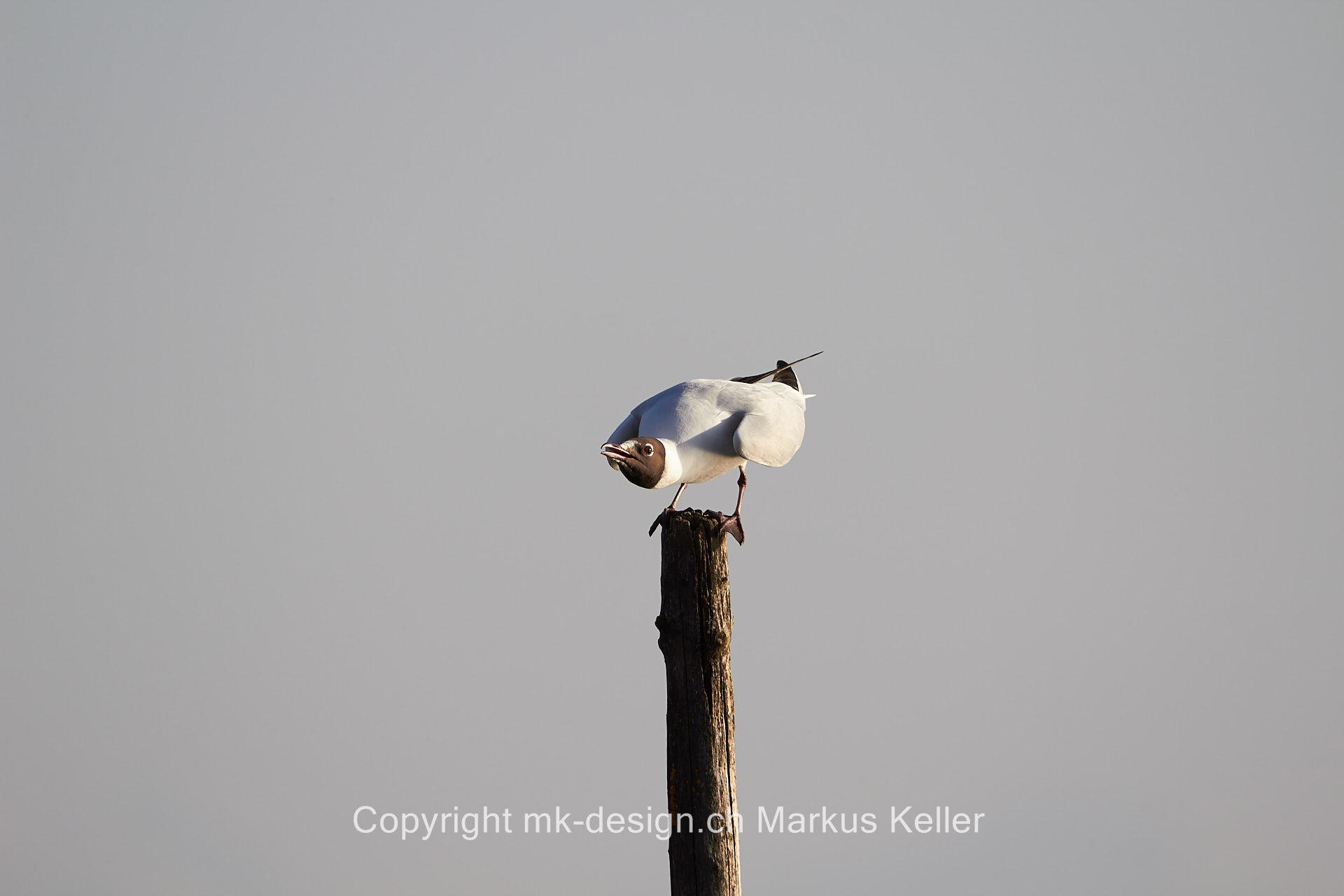 Tier   Vogel   Möve