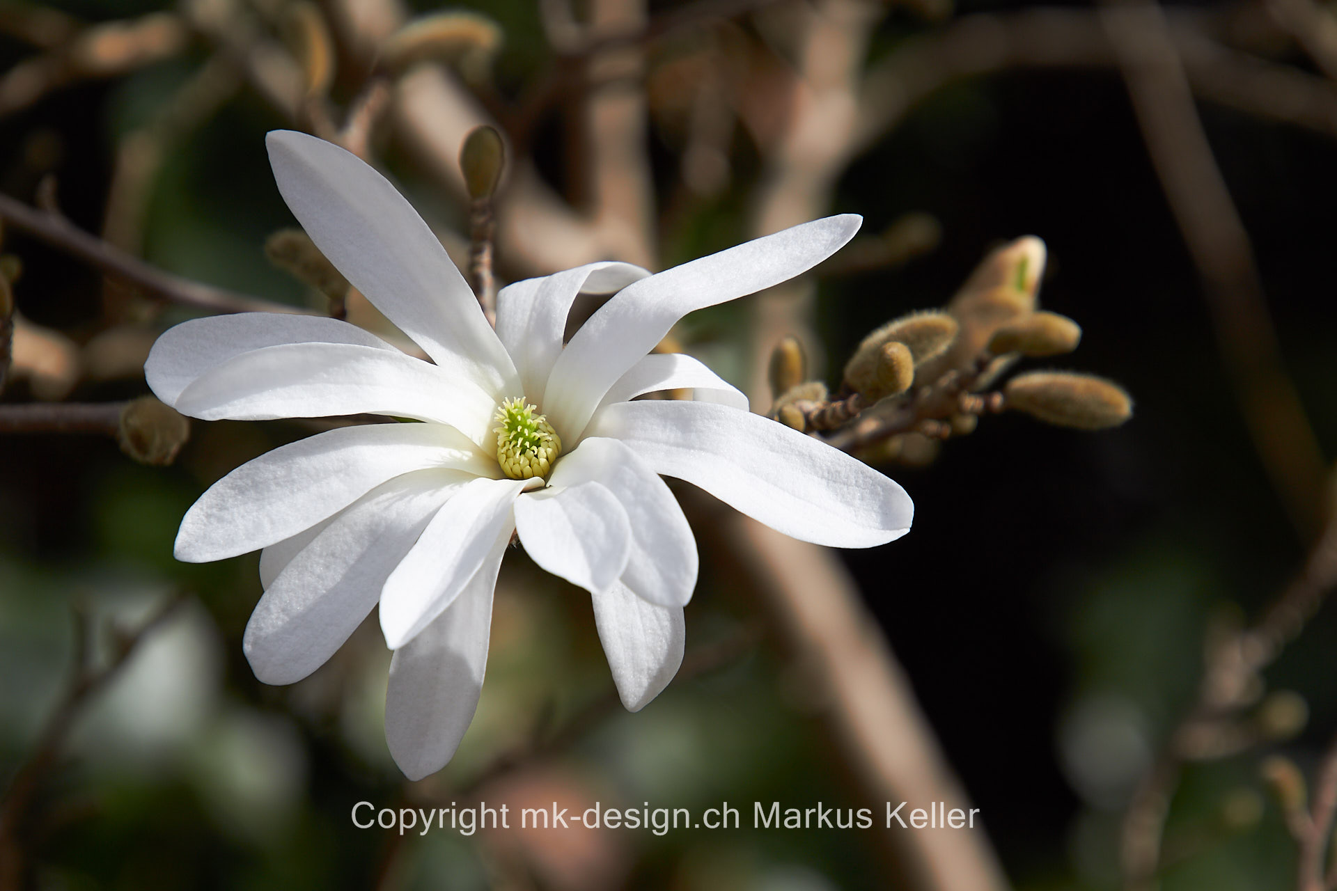 Pflanze   Blume   Sternmagnolie