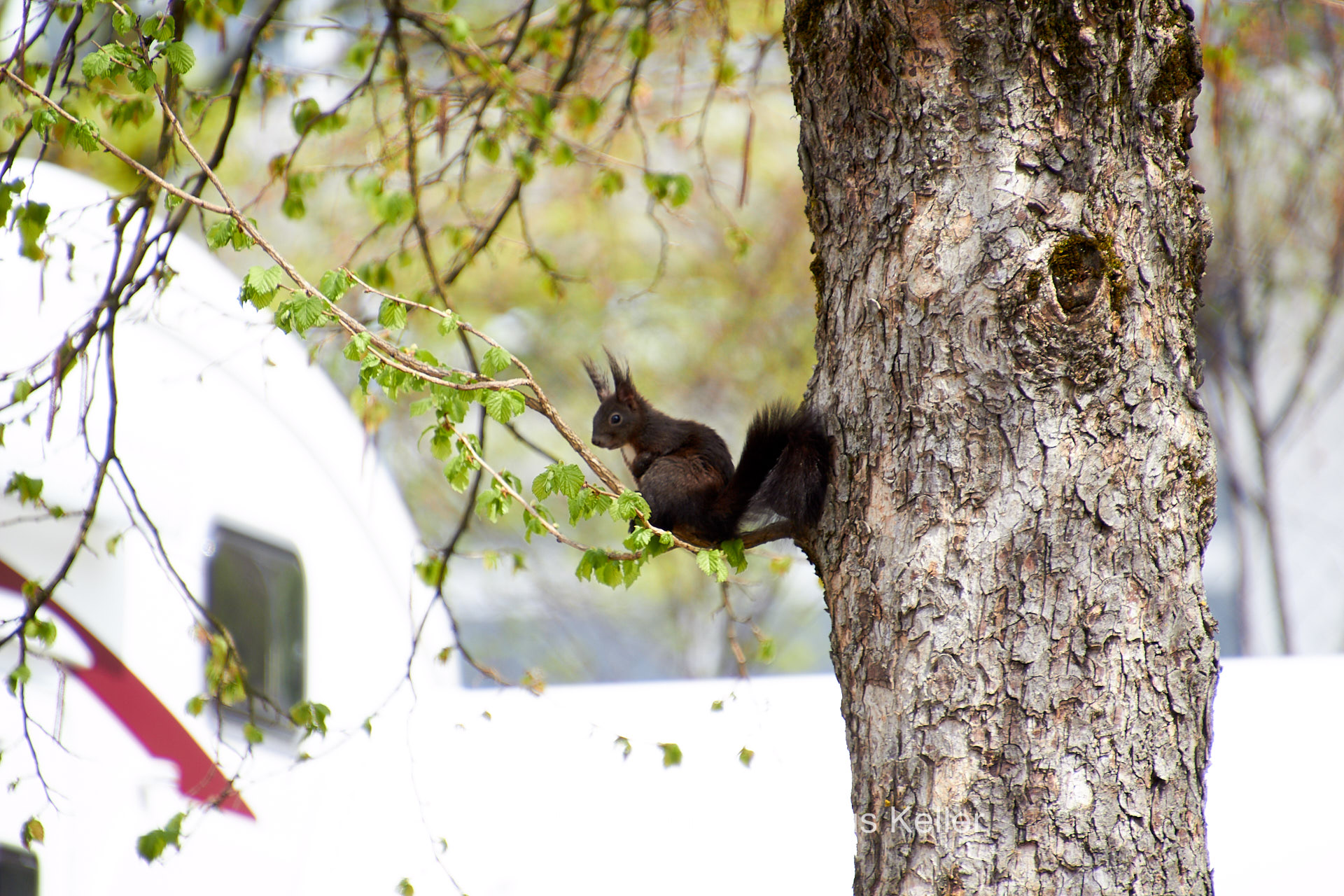 Tier   Eichhörnchen