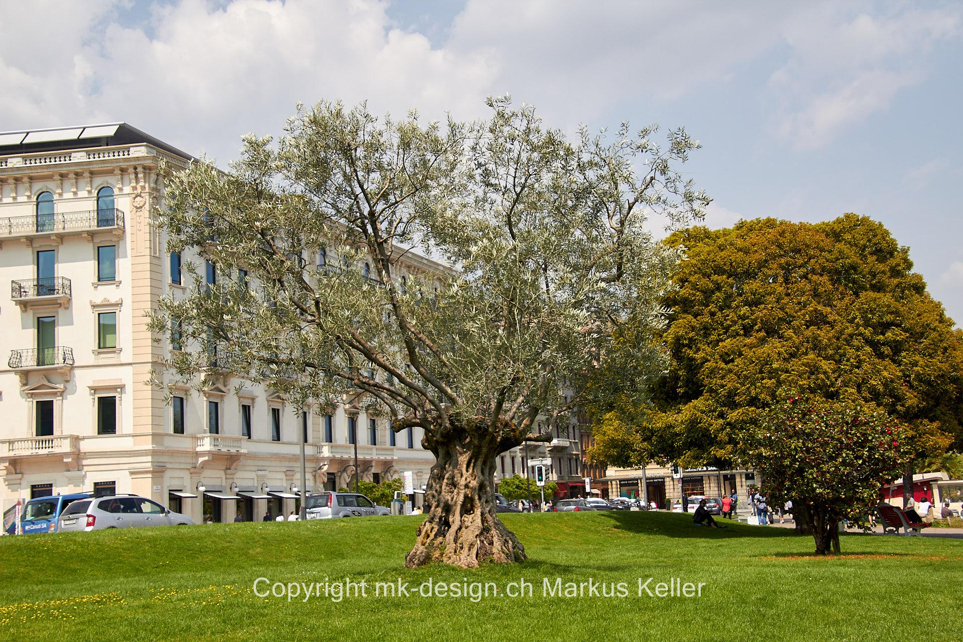 Pflanze   Baum   Olive