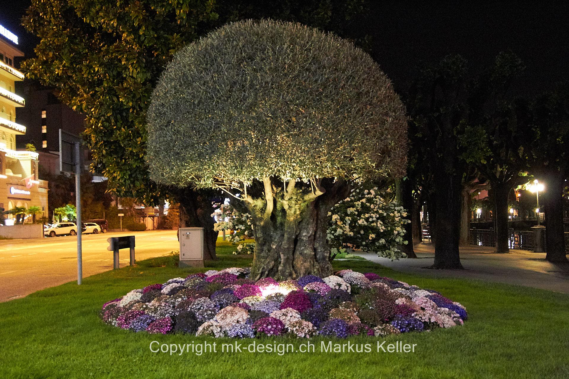 Pflanze   Baum   Olive   Blume