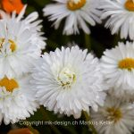 Pflanze   Blume   Aster