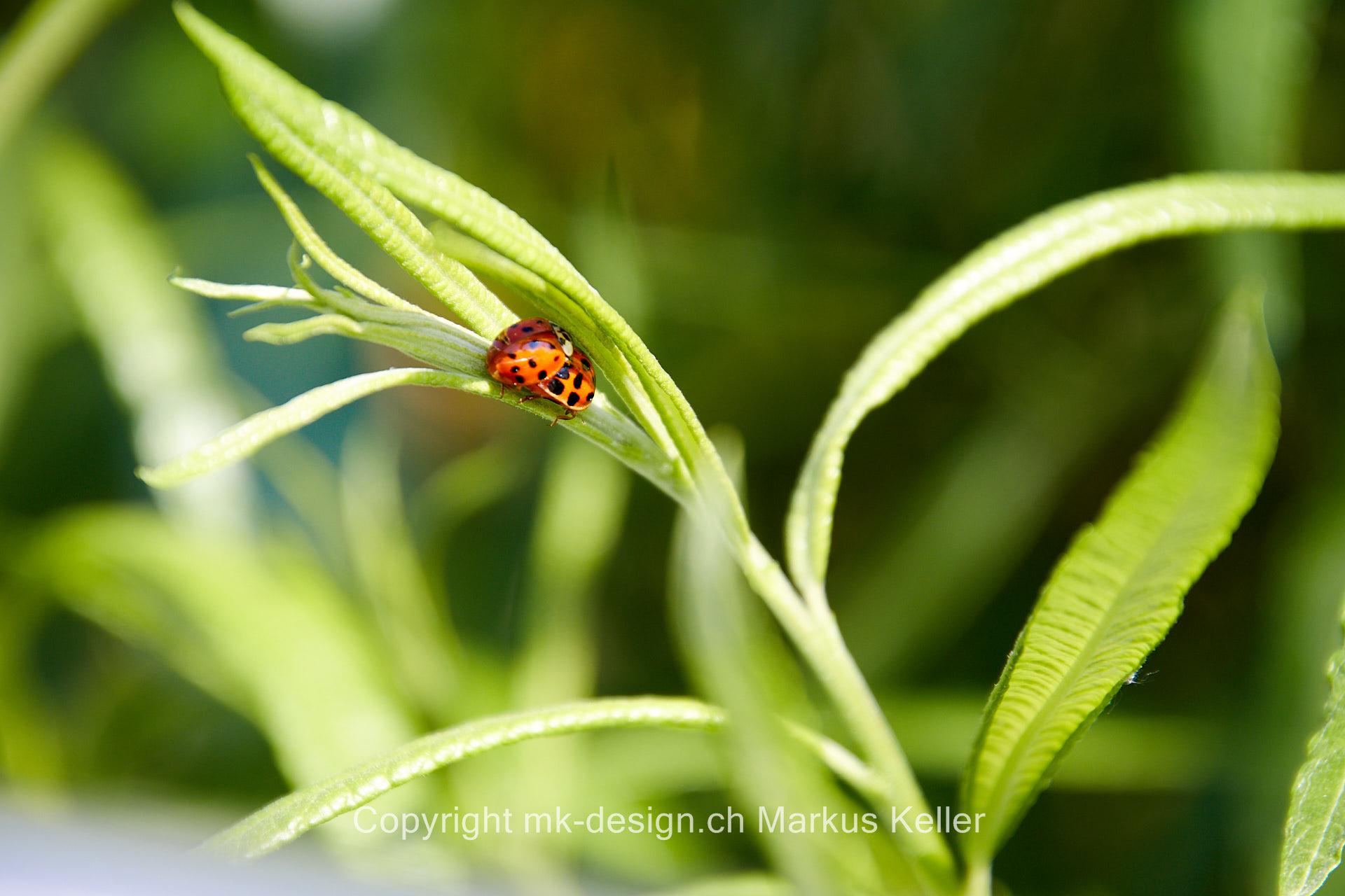 Tier   Käfer   Marienkäfer   Insekte