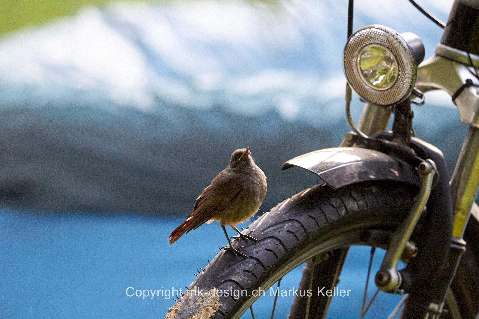 Tier   Vogel   Rotschwanz