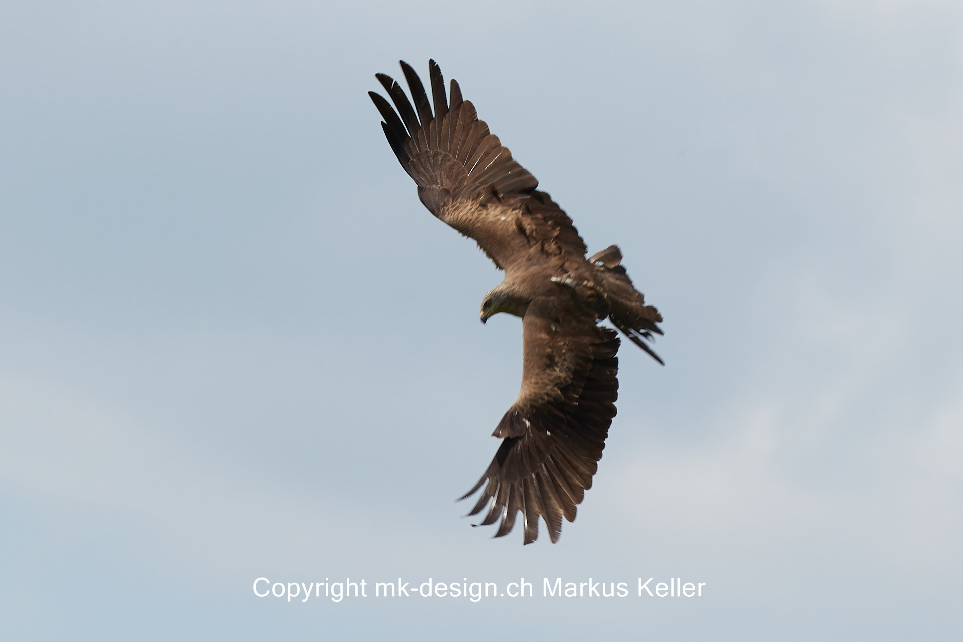 Tier   Vogel   Milan   Schwarzmilan