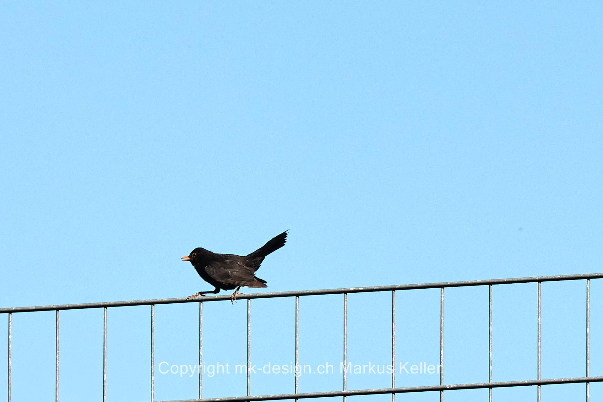 Tier   Vogel   Amsel