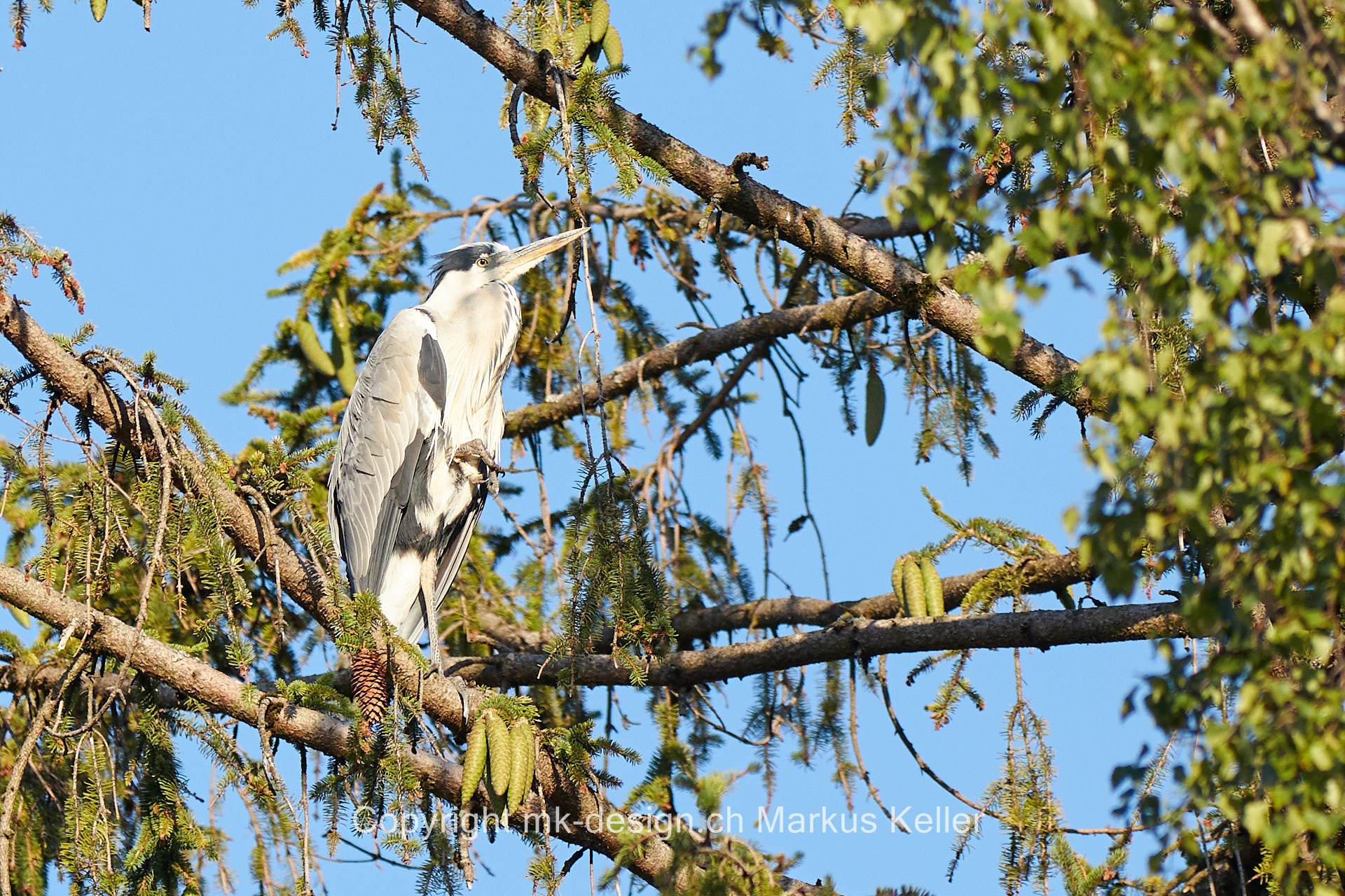 Tier   Vogel   Fischreiher