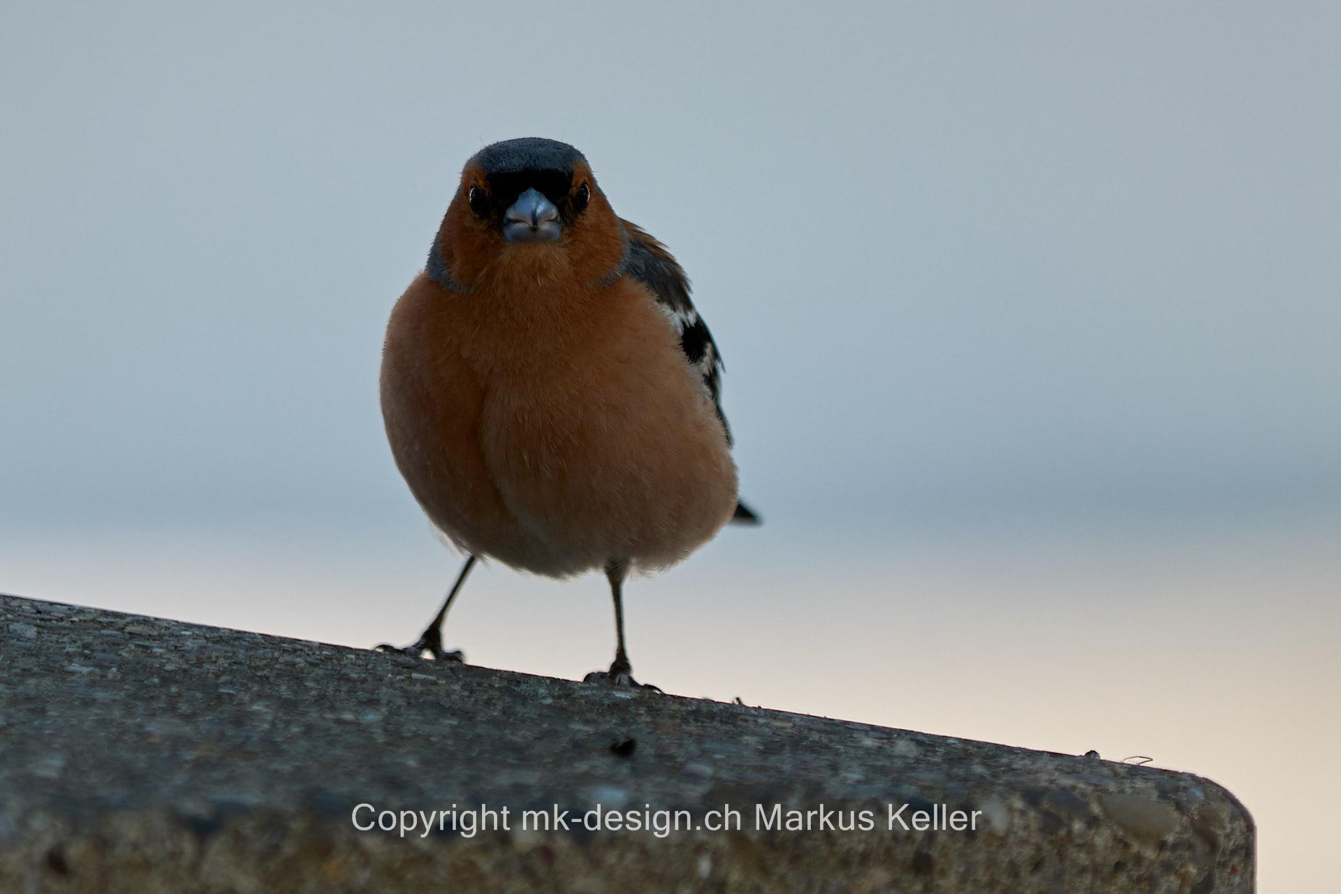 Tier   Vogel   Buchfink