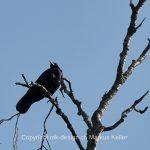 Tier   Vogel   Krähe