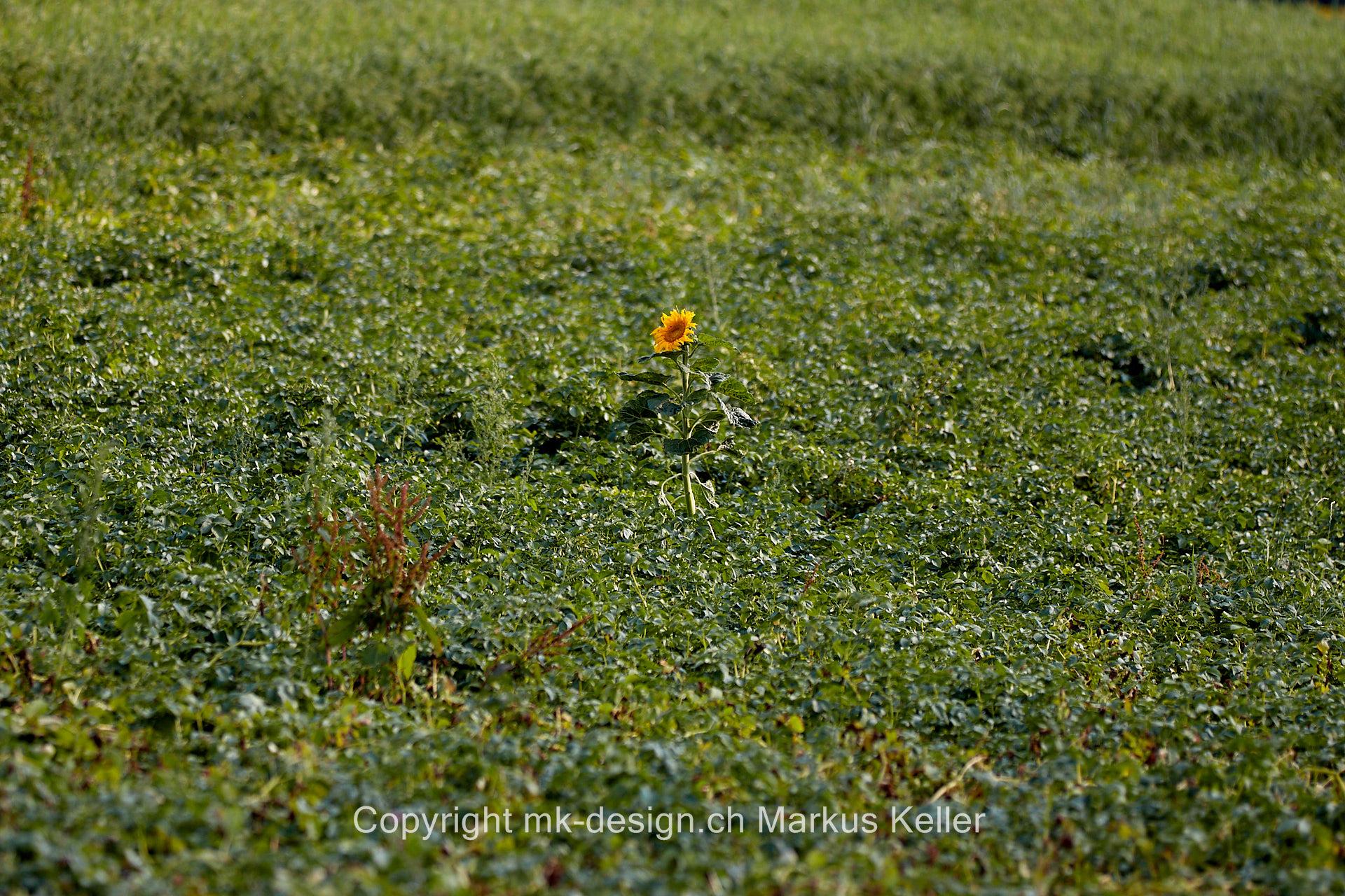 Pflanze   Blume   Sonnenblume