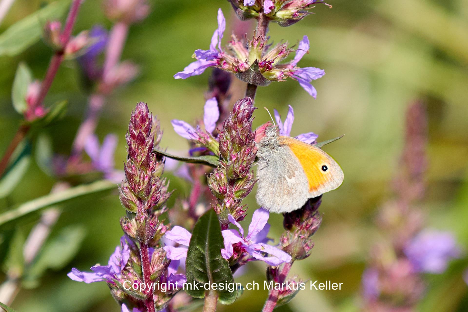 Tier   Insekte   Schmetterling   Kleines Wiesenvögelchen