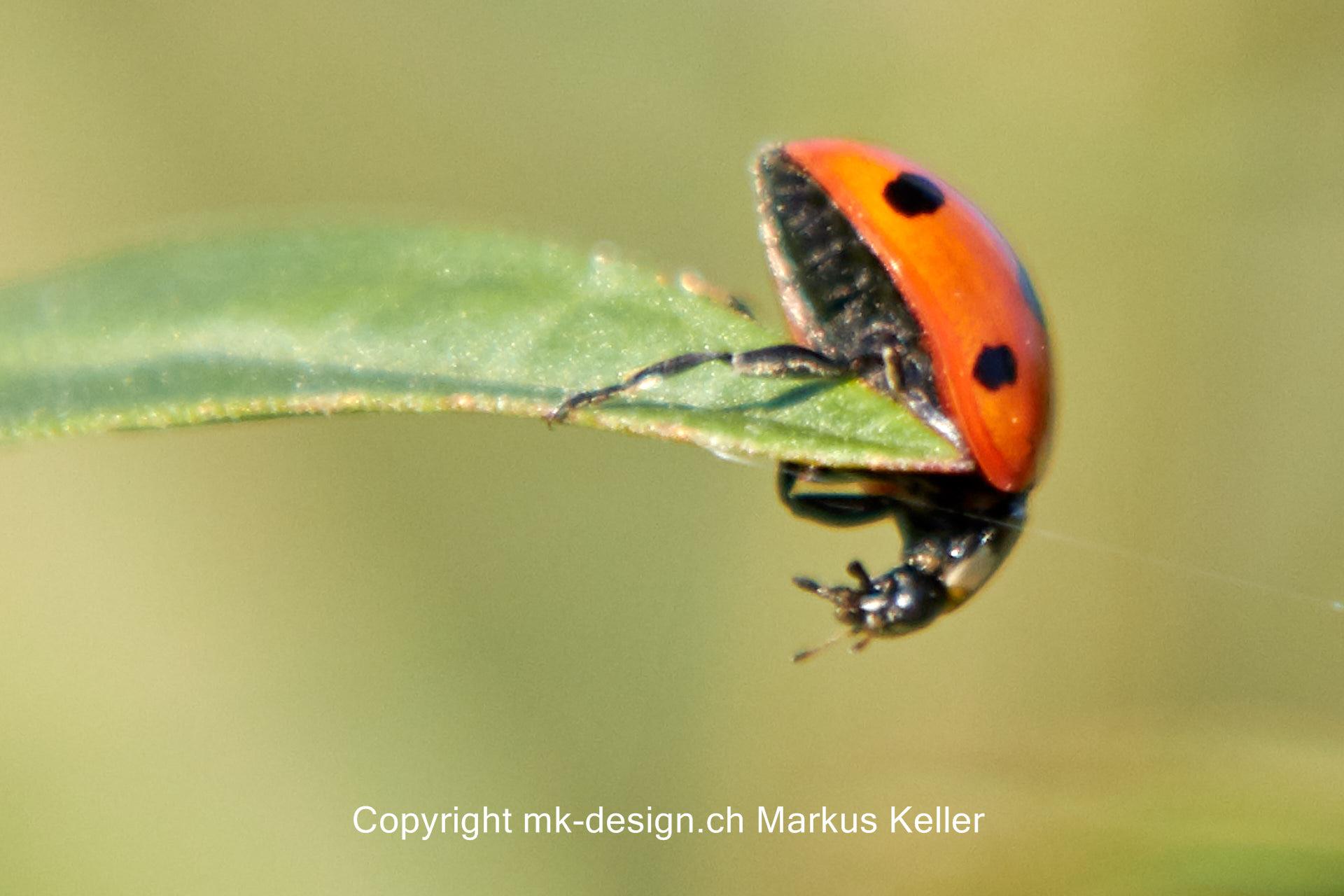 Tier   Insekte   Käfer   Marienkäfer