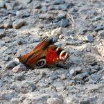 Tier   Insekte   Schmetterling   Tagpfauenauge