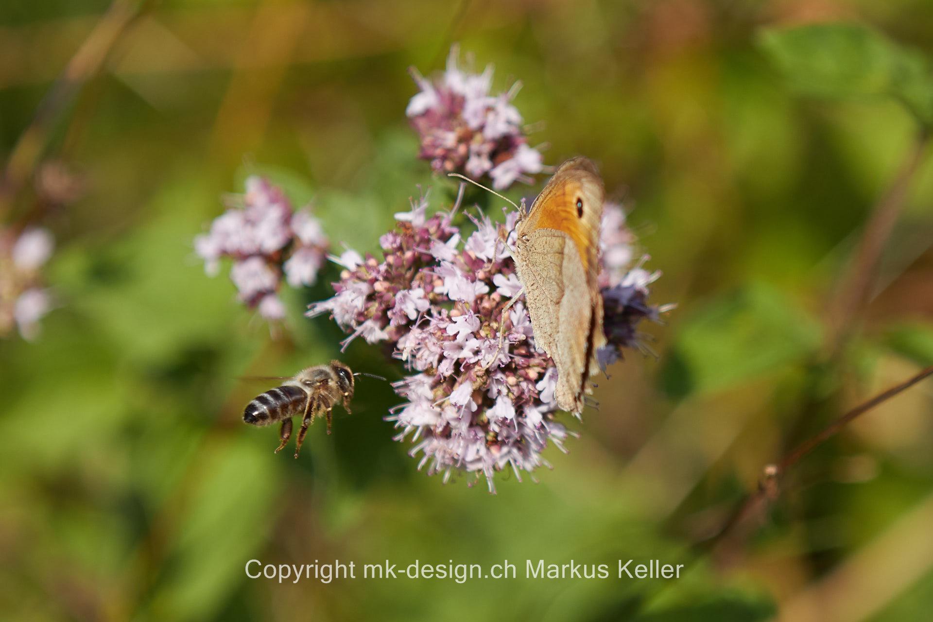 Tier   Insekte   Schmetterling   Kleines Wiesenvögelchen   Biene