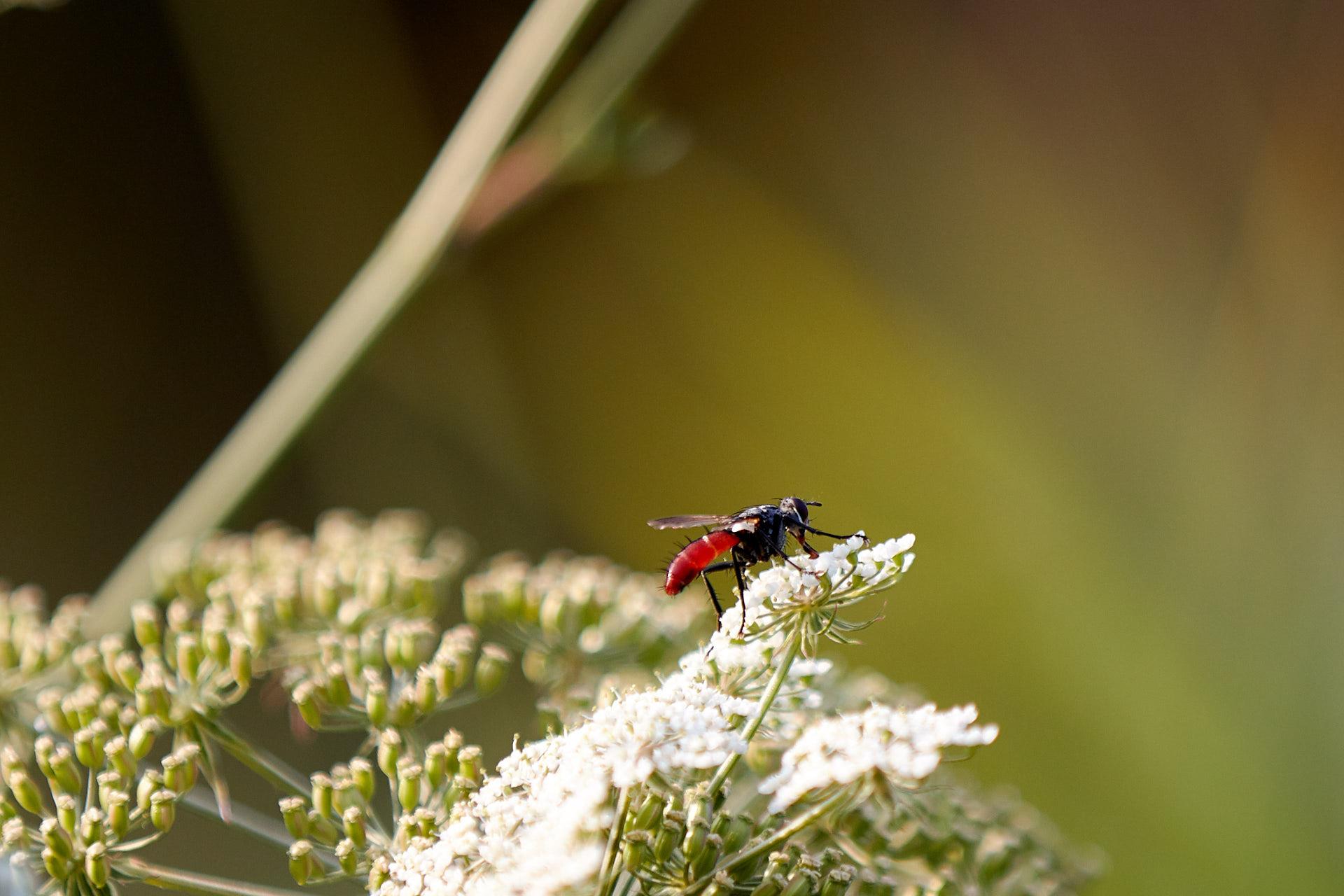 Tier   Insekte   Biene   Blutbiene