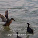Tier   Vogel   Ente   Haubentaucher