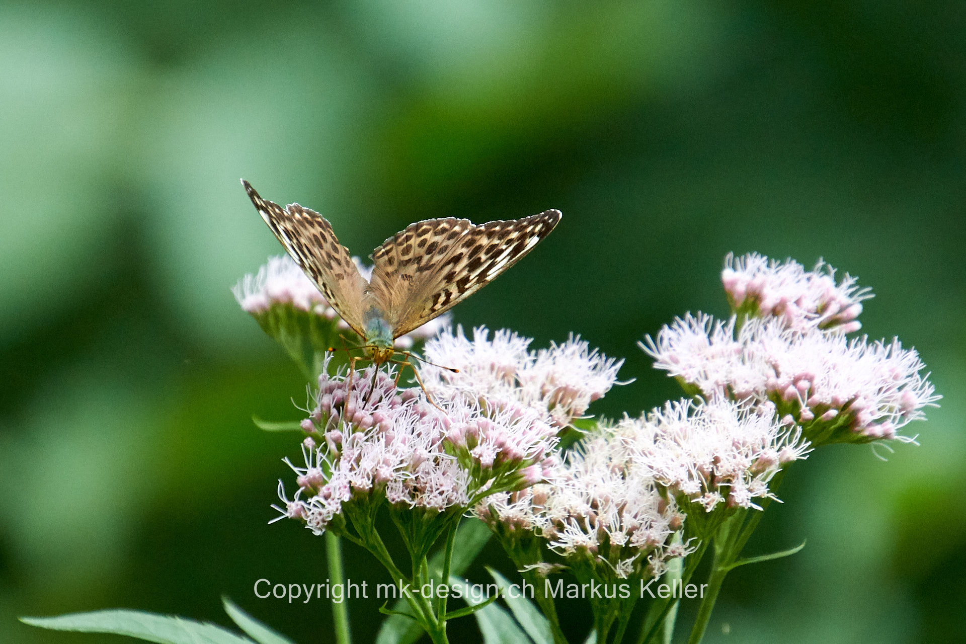 Tier   Insekte   Schmetterling   Fluss   Kaisermantel