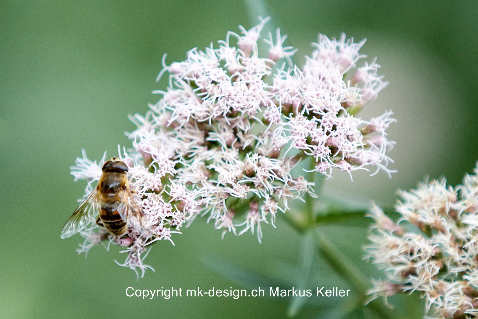 Tier   Insekte   Biene