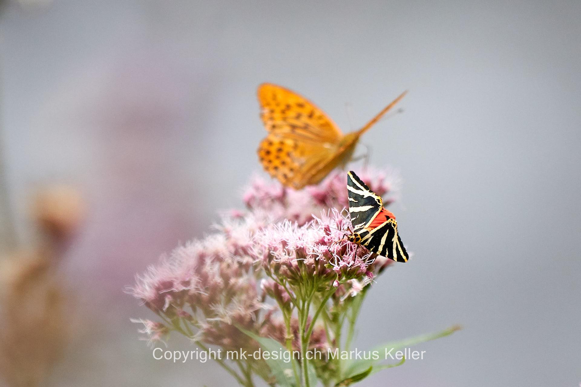 Tier   Insekte   Schmetterling   Russischer Bär   Kaisermantel