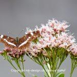 Tier   Insekte   Schmetterling   Kleiner Eisvogel