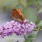 Tier   Insekte   Schmetterling   Kaisermantel