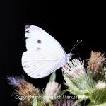 Tier   Insekte   Schmetterling   Kohlweissling