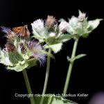 Tier   Insekte   Schmetterling   Rostfarbiger Dickkopffalter
