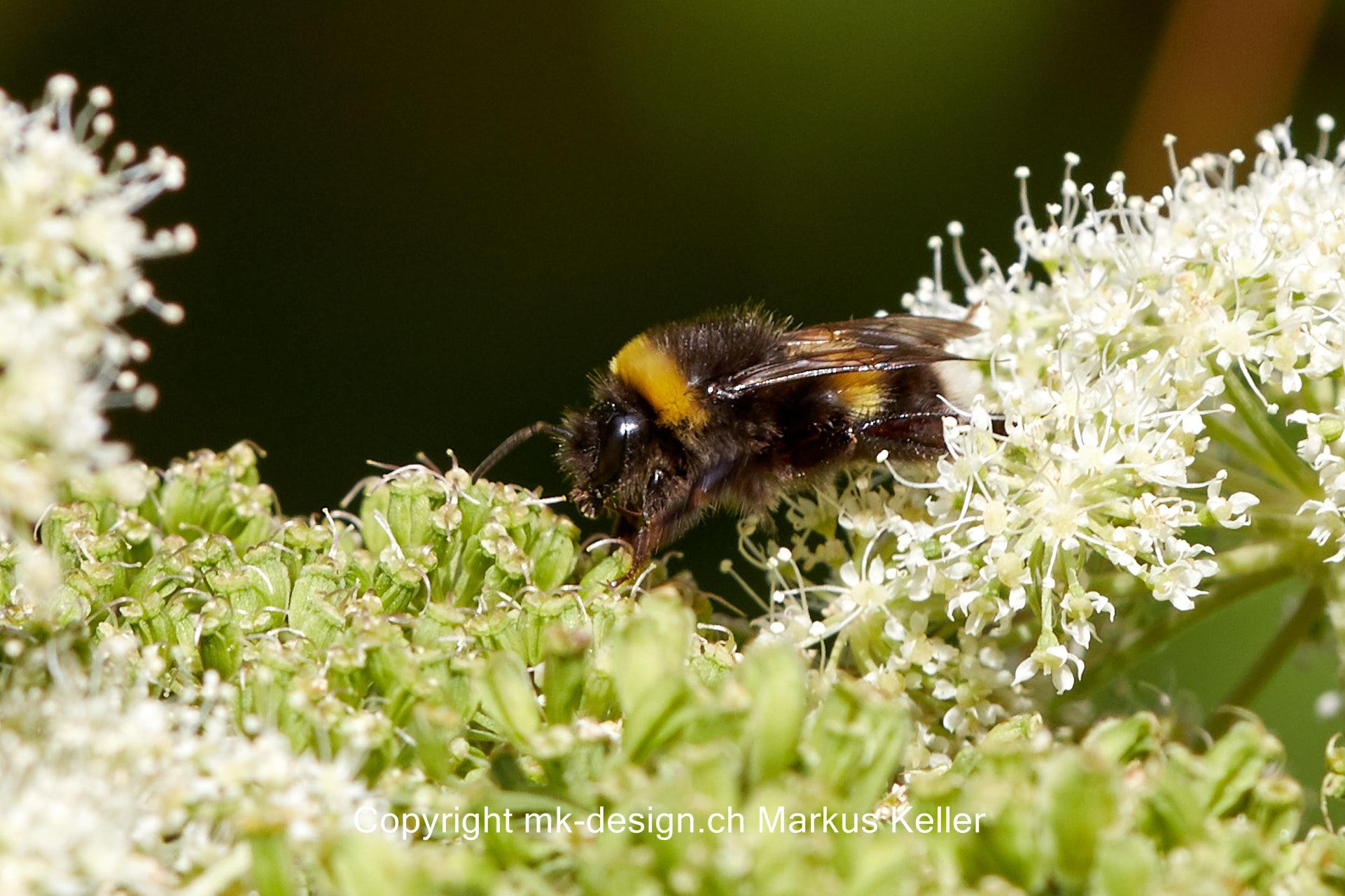 Tier   Insekte   Biene   Grosse Erdhummel