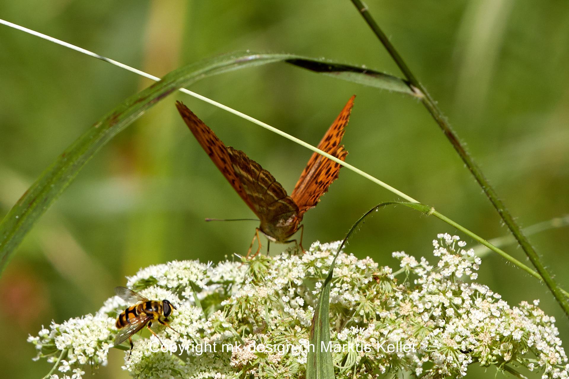 Tier   Insekte   Schmetterling   Kaisermantel   Wespe