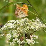 Tier   Insekte   Schmetterling   Kaisermantel   Wespe   Fliege