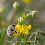 Tier   Insekte   Biene   Wildbiene