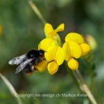 Tier   Insekte   Biene   Wildbiene   Gehörnte Mauerbiene