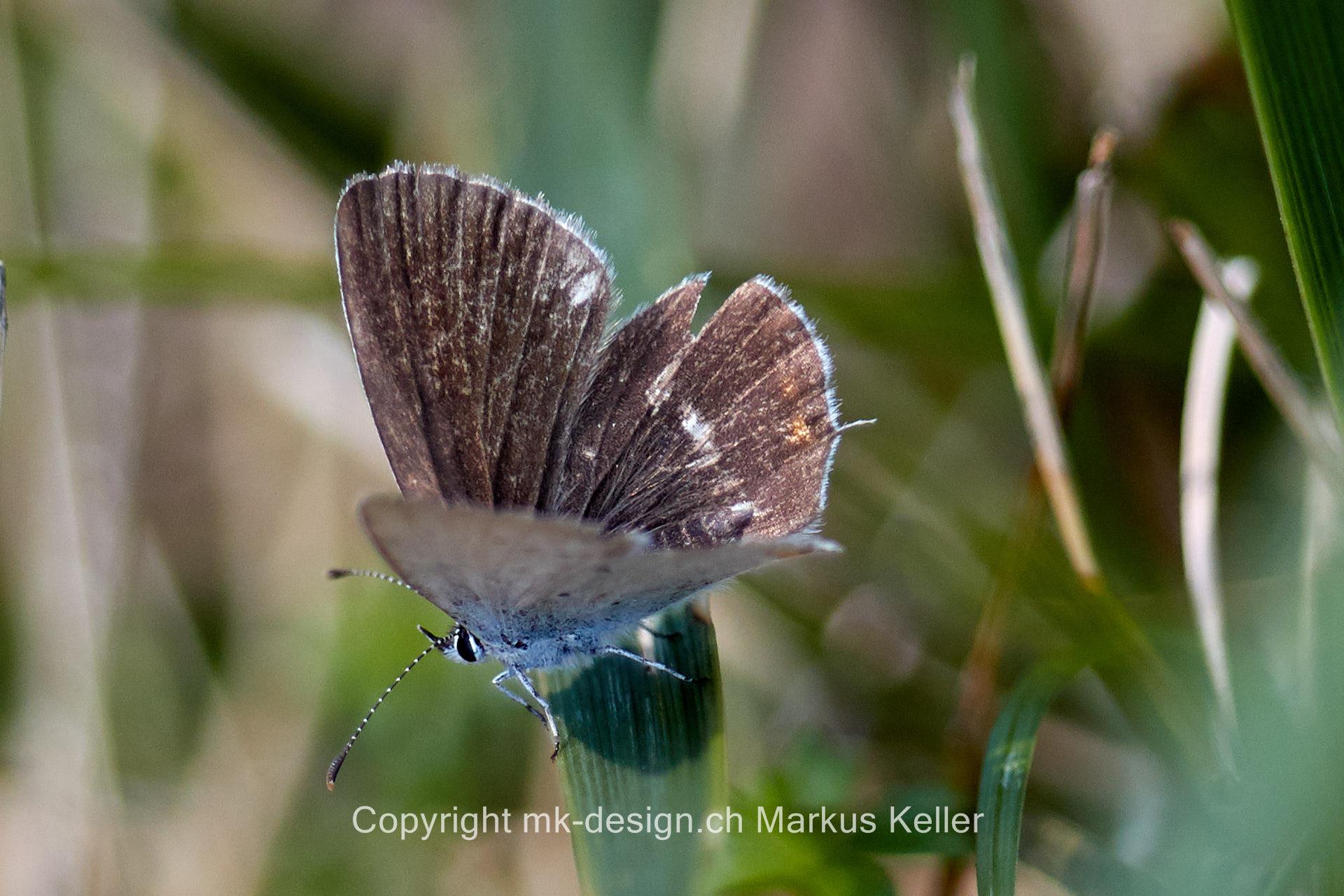 Tier   Insekte   Schmetterling   Bläuling