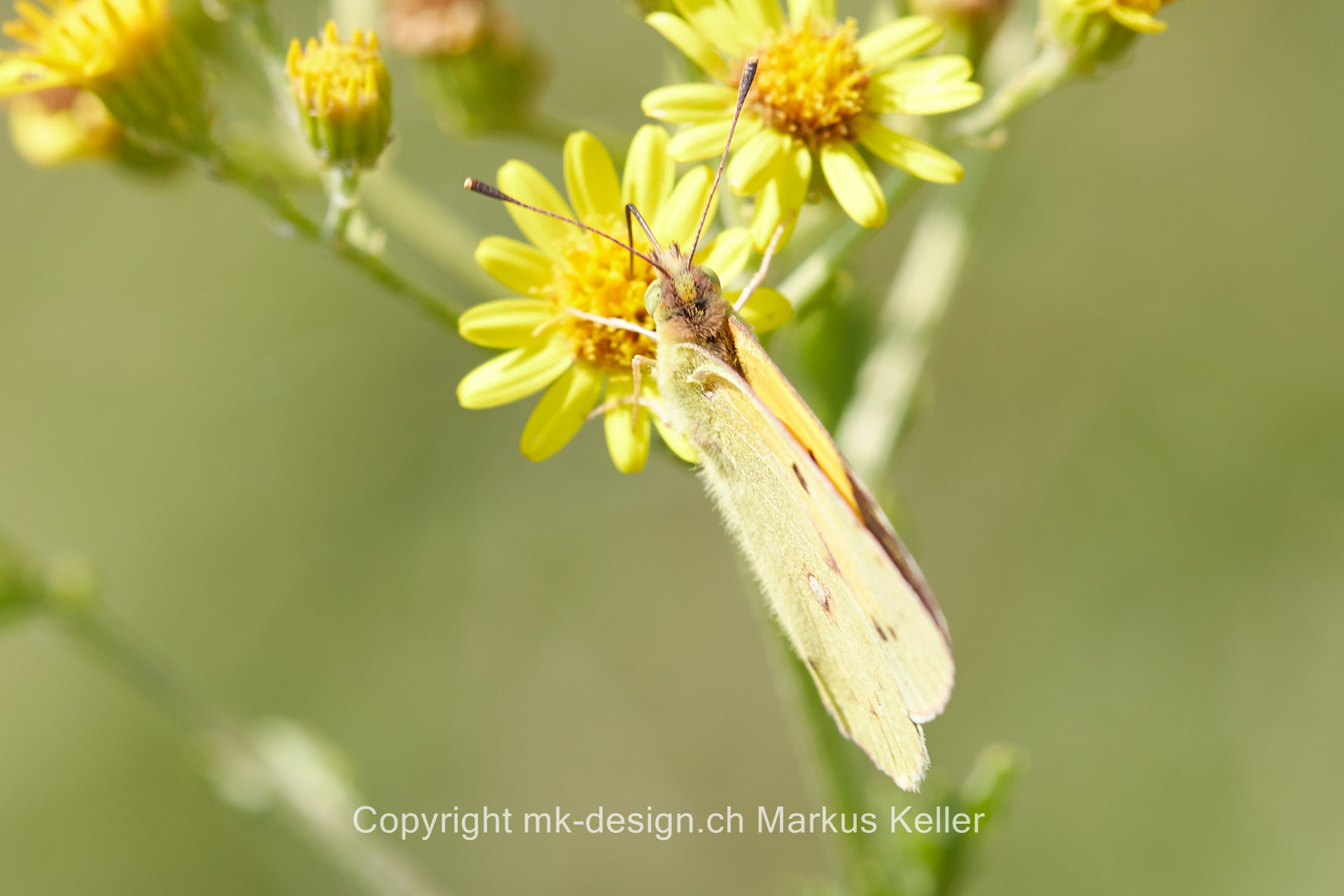 Tier   Insekte   Schmetterling   Postillion