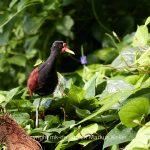 Tier   Vogel   Rotstrin-Blatthühnchen