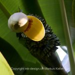 Pflanze   Banane
