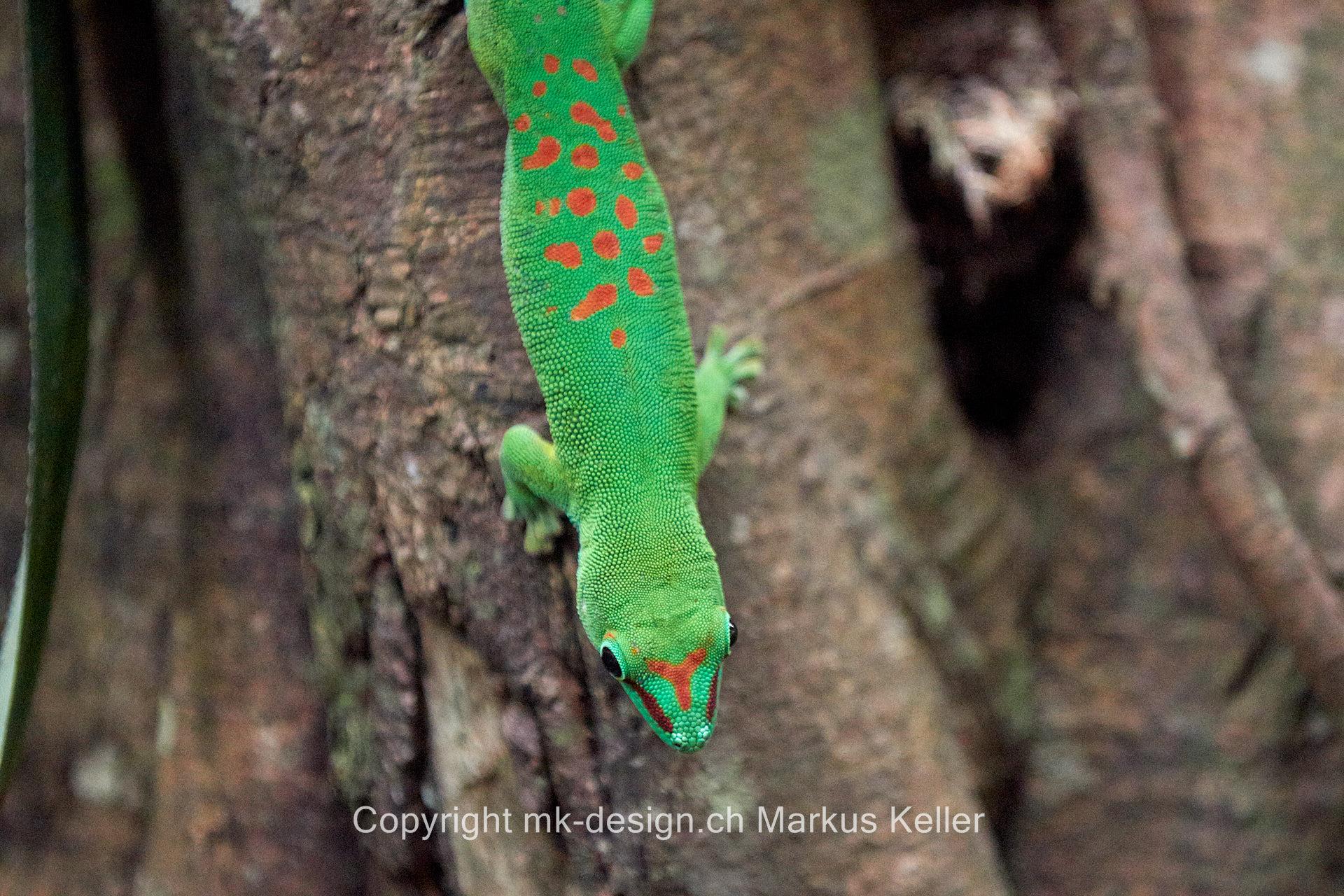 Tier   Gecko