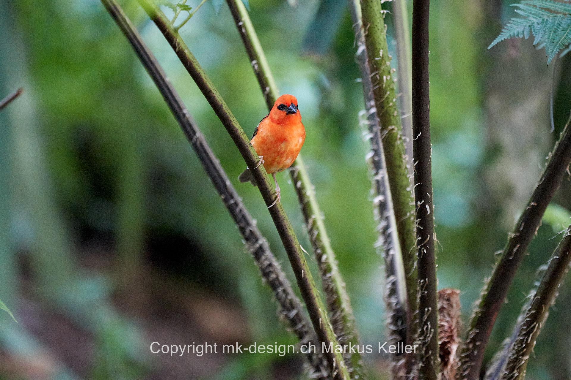 Tier   Vogel   Webervogel