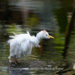 Tier   Vogel   Silberreiher