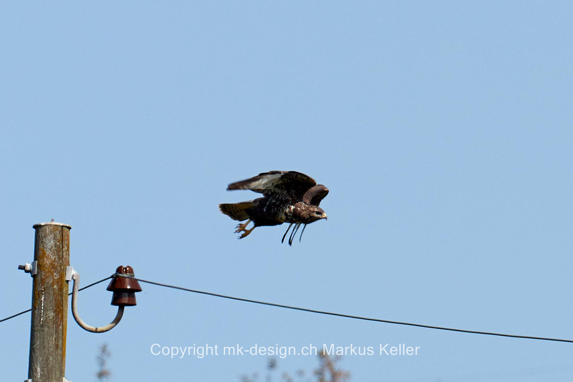 Tier   Vogel   Bussard